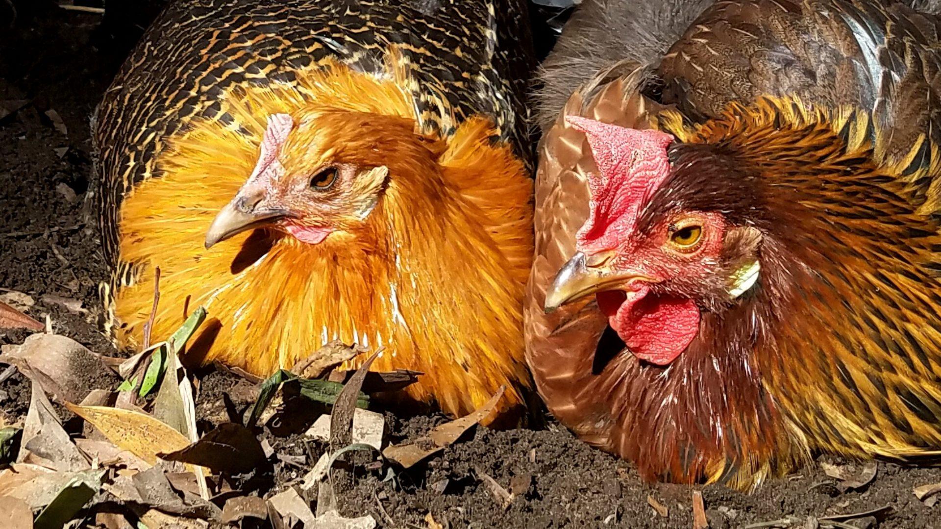 Twin Beaks Chicken Podcast